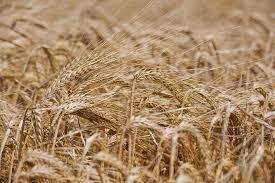 تغذیه گیاه، راهکار مهم در حصول عملکرد بالا در کشت جو
